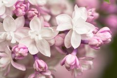 White - Purple Spring Flowers Lilac Macro. Abstract Soft Floral Background Royalty Free Stock Images