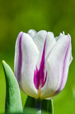 White and purple striped tulip flower Stock Photos