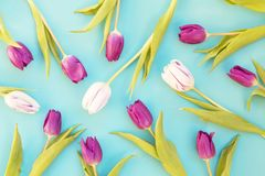 White and purple tulips stock image