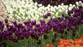 White and purple tulips. Full HD stock footage