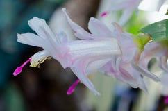 White Purple Zygo - Zygocactus Close-up Stock Photography