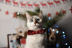 White pushstny eyed cat in a burgundy bow tie with embroidered pattern in a New Year`s interior. Christmas decorations Stock Images
