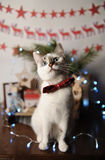 White pushstny eyed cat in a burgundy bow tie with embroidered pattern in a New Year`s interior. Christmas decorations Royalty Free Stock Photo
