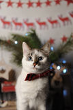 White pushstny eyed cat in a burgundy bow tie with embroidered pattern in a New Year`s interior. Christmas decorations Stock Photos