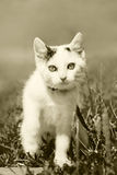 White pussy cat at the walk. Sepia Stock Photo