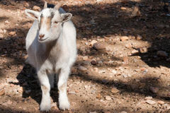 White Pygmy Goat. A pygmy goat stands in dappled light on rocky ground Royalty Free Stock Image