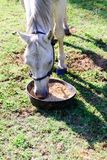 White quarter horse eating from a food bowl while standing on gr. White quarter horse eating oats from a food bowl while standing on green grass stock photos