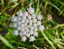 White Queen Anne`s lace flower and buds. Close-up of a white Queen Anne`s lace flower Daucus carota and a pink bud in a Western Pennsylvania meadow. A detailed Royalty Free Stock Images