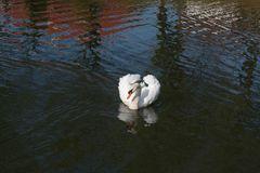 White queen of the lake. White swan floats majestically over its realm Stock Photo