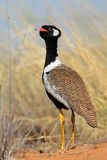 White-quilled Bustard Stock Photo