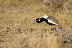 White-quilled Bustard (northern black korhaan) Royalty Free Stock Image