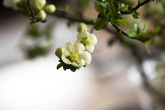 White quince blossom Stock Photography