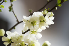 White quince blossoms Stock Photos
