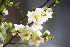 White quince blossoms Royalty Free Stock Image