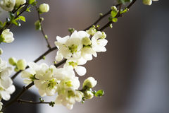 White quince blossoms Stock Images