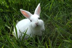 White rabbit 1. Little white rabbit on the grass Stock Photo