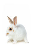 White rabbit Stock Image