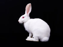 White Rabbit. Sits. Side view. Black background