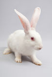 White rabbit. White fluffy bunny on a gray background looks good Royalty Free Stock Images