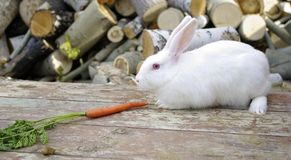 White rabbit. One white cony seat near the carrot Royalty Free Stock Photo