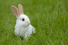 White rabbit. On the grass Royalty Free Stock Photos