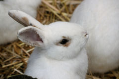 White rabbit. A small white rabbit in hay stock images