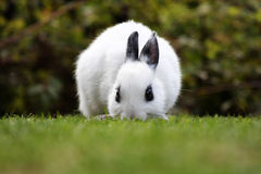 White rabbit Royalty Free Stock Image