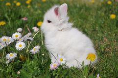 White rabbit. On the flowers Royalty Free Stock Photography