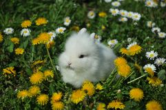 White rabbit. On the flowers Royalty Free Stock Images