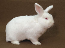White rabbit. A large New Zealand White rabbit (albino) on a plain brown background Stock Image