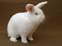 White rabbit. A large New Zealand White rabbit (albino) on a plain brown background Stock Photography