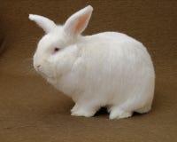 White rabbit. A large New Zealand White rabbit (albino) on a plain brown background Stock Photos