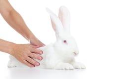 White rabbit. Woman stroking white rabbit on white background Stock Image