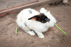 White rabbit. Is eating legume Royalty Free Stock Photography