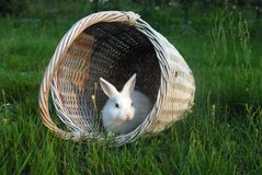 White rabbit 3. Little white rabbit in the basket Stock Images