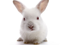 White rabbit Royalty Free Stock Images