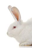 White rabbit Royalty Free Stock Photos