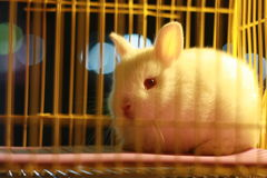 Free White Rabbit Stock Image - 49042331