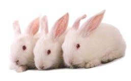 White rabbit. Three white rabbit isolte on white Stock Image