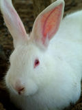 White Rabbit. Close Up Royalty Free Stock Photo