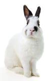 White rabbit. Isolated on white Stock Photos