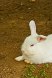 White Rabbit. White bunny relaxing on the ground Stock Photo
