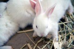 White rabbit. Albino laboratory animal of the domestic rabbit. Royalty Free Stock Photos