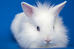 White rabbit baby Stock Photo