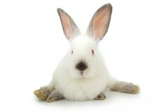 White rabbit Royalty Free Stock Photography