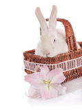 White rabbit in a basket with a lily flower. Stock Image