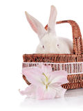 White rabbit in a basket with a lily flower. Royalty Free Stock Photos