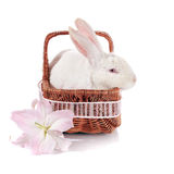 White rabbit in a basket with a lily flower. Stock Photos