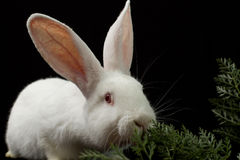 White rabbit on a black background Royalty Free Stock Image