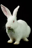 White rabbit on a black background Royalty Free Stock Photos